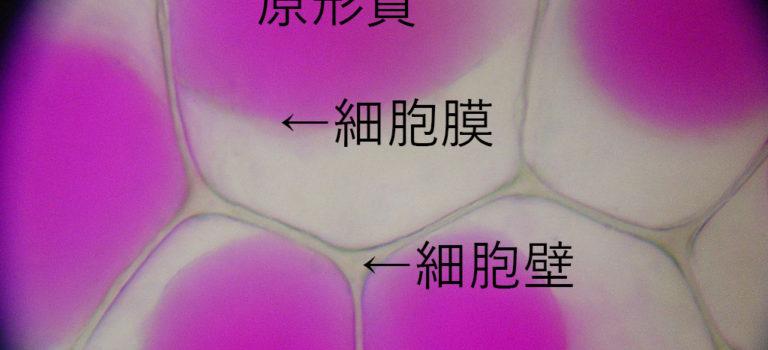 原形質分離について